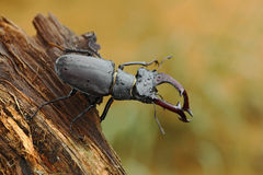 Escarabajo de macho, cervus de Lucanus, insecto grande en el hábitat de la naturaleza, tronco de árbol viejo, fondo anaranjado de Foto de archivo libre de regalías