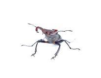 Escarabajo de macho defensivo Imágenes de archivo libres de regalías