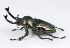 Escarabajo de macho del arco iris Foto de archivo