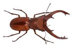 Escarabajo de macho del cervus de Lucanus aislado en blanco fotografía de archivo libre de regalías