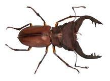 Escarabajo de macho del cervus de Lucanus aislado en blanco imagen de archivo libre de regalías
