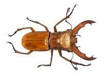 Escarabajo de macho del cervus de Lucanus aislado en blanco fotos de archivo libres de regalías