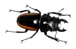 Escarabajo de macho del cervus de Lucanus aislado en blanco fotos de archivo