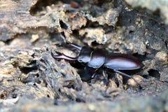 Escarabajo de macho del músculo recto Foto de archivo