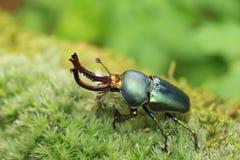 Escarabajo de macho del Papuan Fotografía de archivo