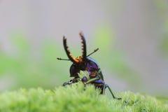 Escarabajo de macho del Papuan Imágenes de archivo libres de regalías