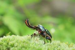 Escarabajo de macho del Papuan Fotos de archivo libres de regalías