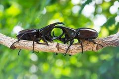 Escarabajo de macho del primer en árbol Imagen de archivo libre de regalías