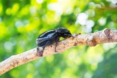 Escarabajo de macho del primer en árbol Imágenes de archivo libres de regalías