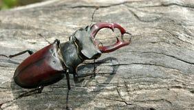 Escarabajo de macho en el árbol viejo fotografía de archivo libre de regalías