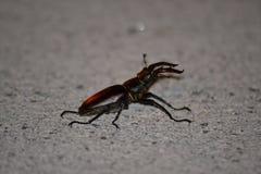 Escarabajo de macho en el Reino Unido Foto de archivo libre de regalías
