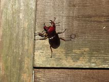Escarabajo de macho en Georgia del norte y x28; Capreolus& x29 de Lucanus; fotografía de archivo