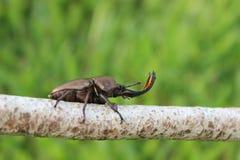 Escarabajo de macho en rama Fotografía de archivo libre de regalías