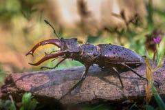 Escarabajo de macho en un registro Fotografía de archivo libre de regalías