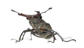 Escarabajo de macho europeo contra el fondo blanco fotografía de archivo