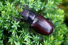 Escarabajo de macho femenino imagen de archivo libre de regalías