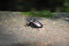 Escarabajo de macho femenino Imágenes de archivo libres de regalías
