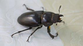Escarabajo de macho femenino (cervus de Lucanus) Fotografía de archivo