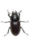Escarabajo de macho femenino de arrastre (cervus de Lucanus) fotografía de archivo