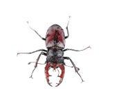 Escarabajo de macho marrón mojado Imagen de archivo