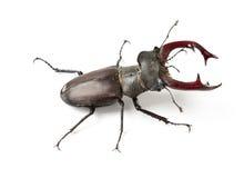 Escarabajo de macho masculino Fotos de archivo