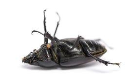 Escarabajo de macho muerto que miente en su parte posterior, cervus de Lucanus, aislado Fotografía de archivo libre de regalías