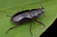 Escarabajo de macho negro brillante imágenes de archivo libres de regalías