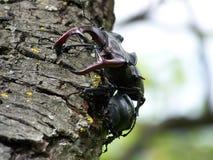 Escarabajo de macho que se acoplan Fotografía de archivo
