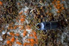 Escarabajo de macho de Taiwán fotos de archivo