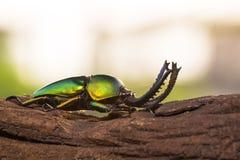 Escarabajo de macho verde y x28; Adolphinae& x29 de Lamprima; Foto de archivo libre de regalías