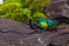 Escarabajo de macho verde y x28; Adolphinae& x29 de Lamprima; Fotografía de archivo