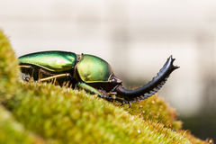 Escarabajo de macho verde y x28; Adolphinae& x29 de Lamprima; Imagen de archivo