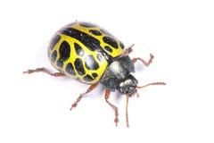 Escarabajo de mariquita amarillo Foto de archivo libre de regalías