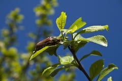Escarabajo de mayo. Imagenes de archivo