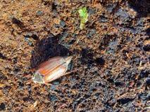 Escarabajo de mayo Fotografía de archivo