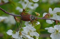 Escarabajo de Maysky en una rama de la cereza floreciente Foto de archivo libre de regalías