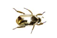 Escarabajo de oro Fotografía de archivo libre de regalías