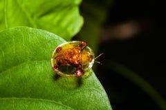 Escarabajo de oro de la tortuga en la hoja verde Imagen de archivo
