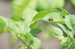 Escarabajo de patata de Colorado Foto de archivo libre de regalías