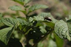 Escarabajo de patata de Colorado foto de archivo