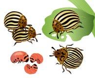 Escarabajo de patata de Colorado libre illustration