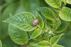 Escarabajo de patata de Colorado Imágenes de archivo libres de regalías