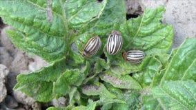 Escarabajo de patata de Colorado, Leptinotarsa Decemlineata almacen de video