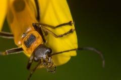 Escarabajo de Pennsylvania Leatherwing con polen fotografía de archivo libre de regalías
