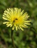 escarabajo de Polen-alimentación en flowe de la planta de Albida del Crepis Foto de archivo libre de regalías