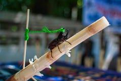 Escarabajo de Rhono Foto de archivo