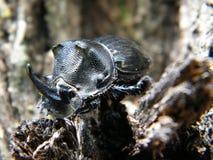 Escarabajo de Rhono Fotos de archivo libres de regalías