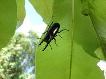 Escarabajo de rinoceronte Imagenes de archivo