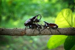 Escarabajo de rinoceronte Fotos de archivo