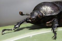 Escarabajo de rinoceronte Foto de archivo libre de regalías